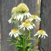 Echinacea 'PAPALLO SEMI-DOUBLE WHITE', kont. 1Lit.