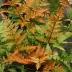 Papraď červená (Dryopteris erythrosora), kont. 2l