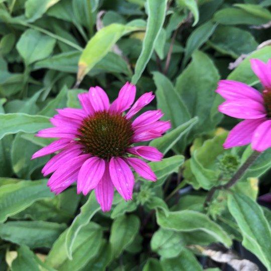 Echinacea PAPALLO CLASSIC ROSE, kont. 1l