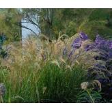 Kavyl calamagrostis, kont. 1l