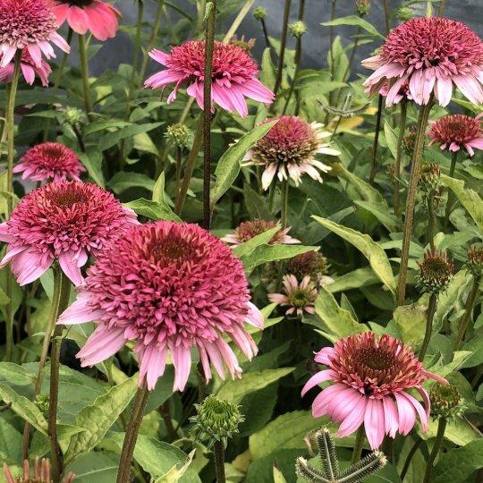 Echinacea 'SEMIDOUBLE PINK', kont. 1Lit.