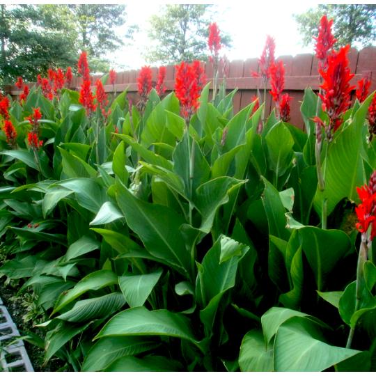 Kana indická červená, 40-60cm, kont. 3l