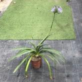 Agapanthus umbellatus ovatus - , kont. 3l