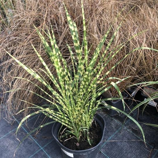 Miscanthus sinensis _Gold Bar_, kont. 2l