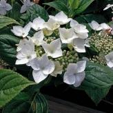 "Hydrangea macr. ""White Wave"", 10-15 cm, K9"