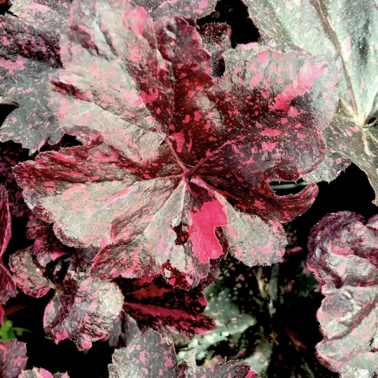 Heuchera MIDNIGHT ROSE, kont. 1l