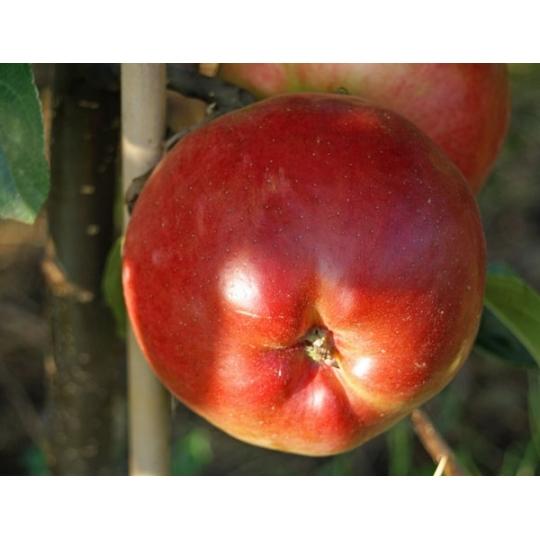 Jabloň PRIMA, jesenná, pod. MM106, 120-160cm, kont. 9L