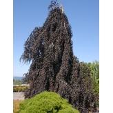 Buk lesný previsnutý ´PURPLE FONTAIN´, 2m, kont. 50L