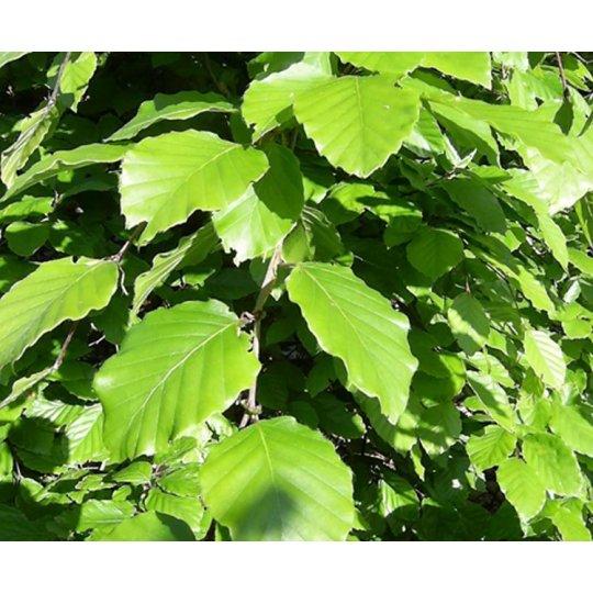Buk lesný, 60-80cm, kont. 2l
