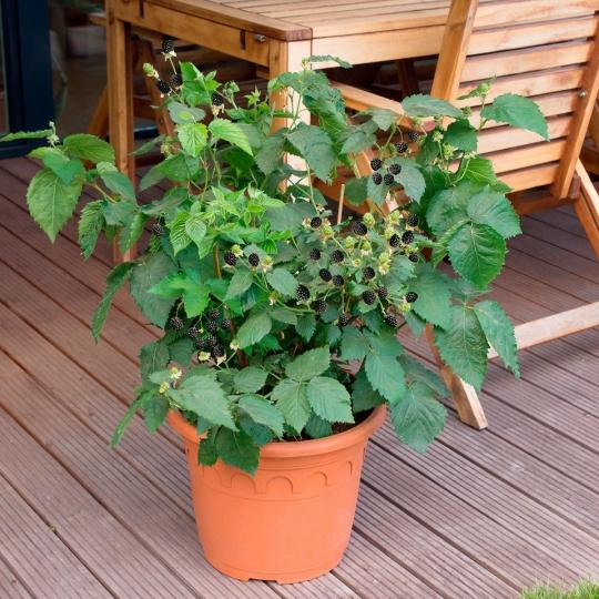 Černica ´LITTLE BLACK PRINCE®´, 30-40cm, balkónová, kont. 2l