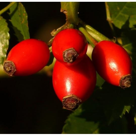 Ruža plodová ´ŠÍPKOVA´, 40-60cm,  kont. 2l