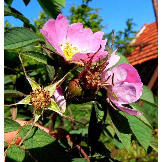 Ruža plodová 'JABĹČKOVA'', kont. 2l
