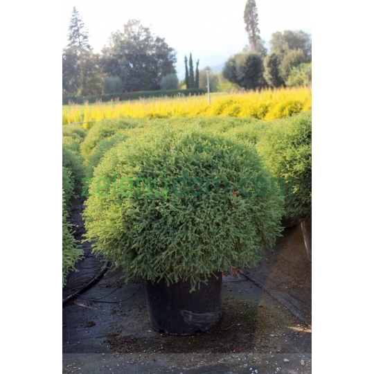 THUJA OCCIDENTALIS ´ BOWLING BALL´, GUĽOVITÝ TVAR 35L