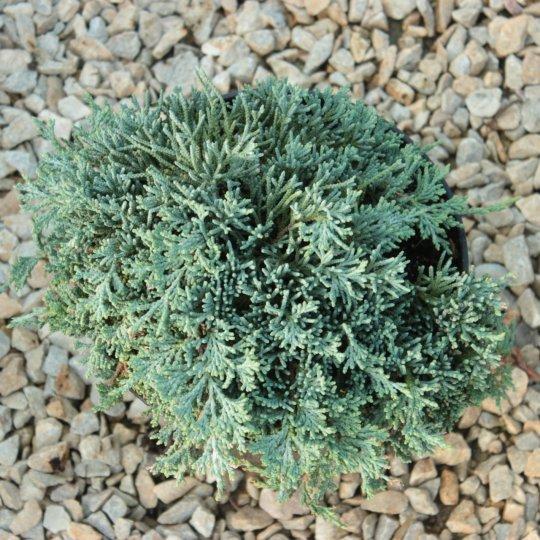 Borievka rozprestretá,Juniperus horizontalis ´Glacier´, kont.2l