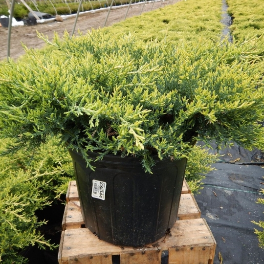 Borievka, Juniperus Chinensis ´Gold star´