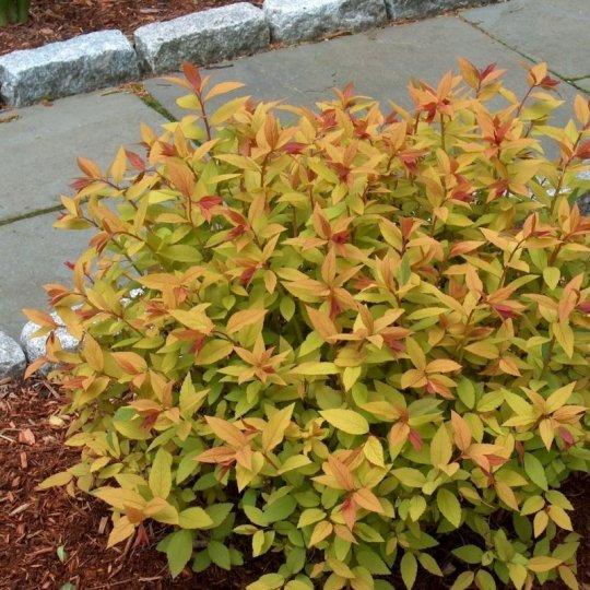 Tavolnik bumaldov, Spiraea bumalda 'Goldflame', 2 L        30 - 40 cm