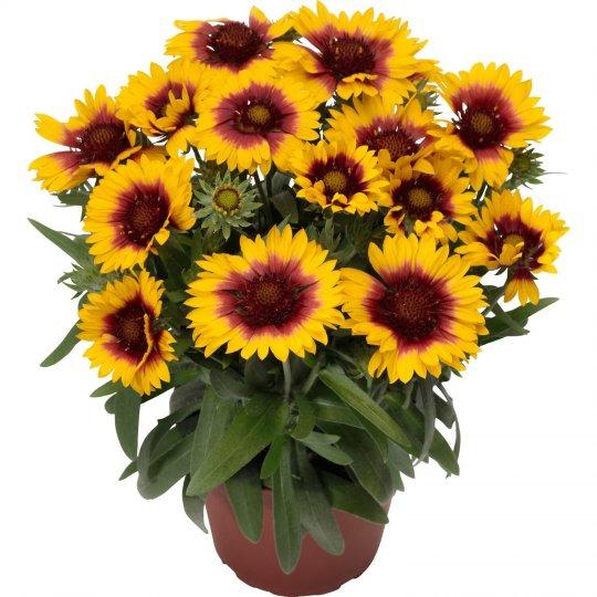 Gaillardia aristata ´Sunrita Yellow Red Ring´, kont. 1l