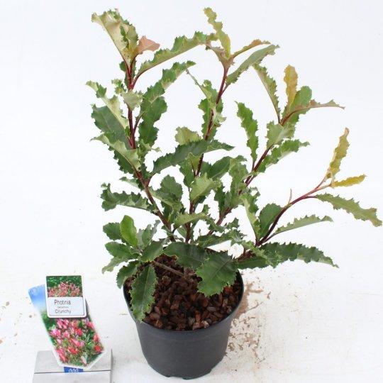 Photinia serratifolia 'CRUNCHY'®, 30-40 cm, kont. 2,5l