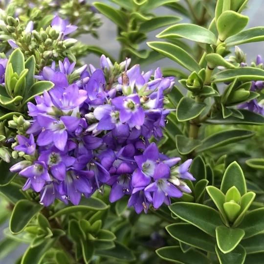 Hebe 'GARDEN BEAUTY BLUE' 10-15cm, kont. 0,5l