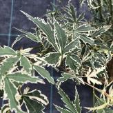 Javor dlaňolistý 'BUTTERFLY', 30-40cm, kont. 2,5l