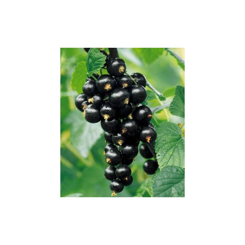 Čierna ríbezľa TITANIA, 2l