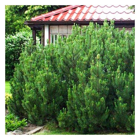 Borovica horská (kosodrevina) MUGHUS, 15-20cm, kont. 2,5l