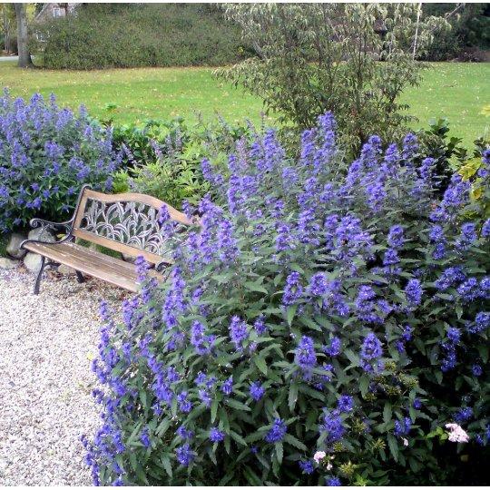 Bradavec blanokrídly 'BLUE EMPIRE''® 30-40cm, kont. 2,5l