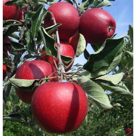 Jabloň SPARTAN, zimná odroda, voľný koreň