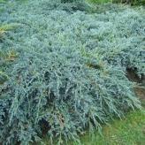 Borievka šupinatá 'BLUE CARPET' 20-30cm, kont. 2,5l
