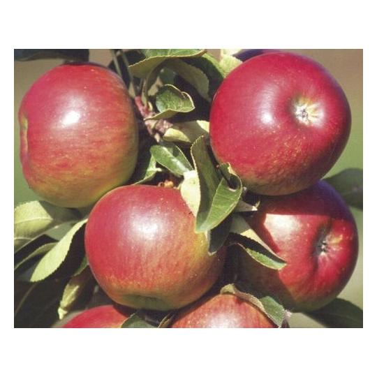 Jabloň POMREDROBUST stĺpovitá, jesenná, podp. MM111, 120-130cm, kont. 9l