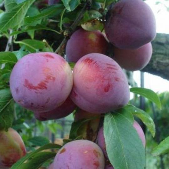 Ringlota ´Althanová´ , voľný koreň