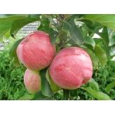 Jabloň stĺpovitá 'ANDA', jesenná, B118