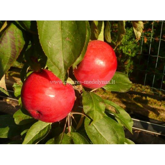 Jabloň stĺpovitá 'KORAL', zimná, B118
