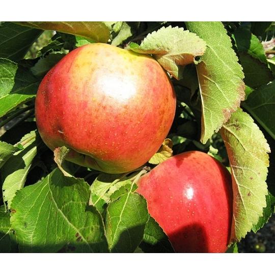 Jabloň stĺpovitá 'VASIUGAN', neskoro jesenná, podp. M26