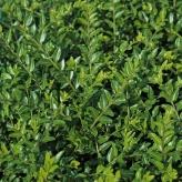 Zemolez kapucňovitý 'MOSS GREEN, 20-30cm, kont. 1l