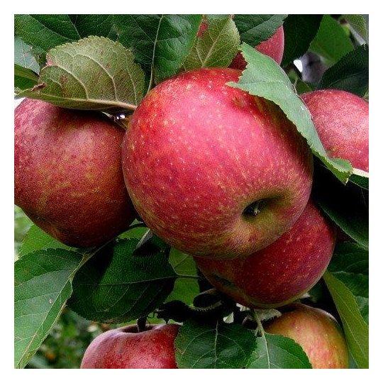 Jabloň zimná