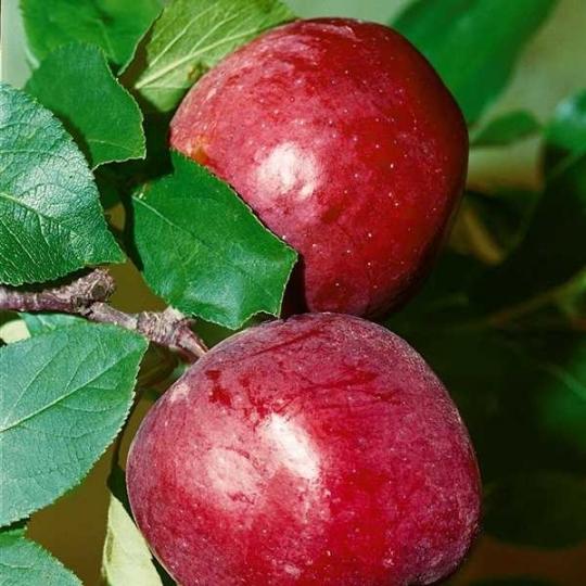 Jabloň skoro zimná 'ELISE', podp. M9