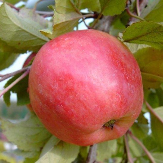 Jabloň letná 'PIROS', podpník M9