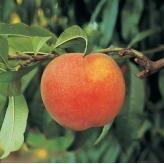 Broskyňa skorá 'SPRINGTIME', podpník semenáč