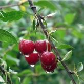 Čerešňa LAPINS neskorá - samoopelivá, voľný koreň
