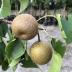 Japonská hruška SHINSEIKI, stredne skorá, podp. semenáč