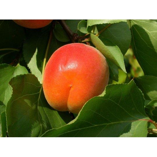 Marhuľa PINKCOT, skorá, voľný koreň