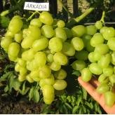 Vinič stolový 'ARKADIA', 20-30cm
