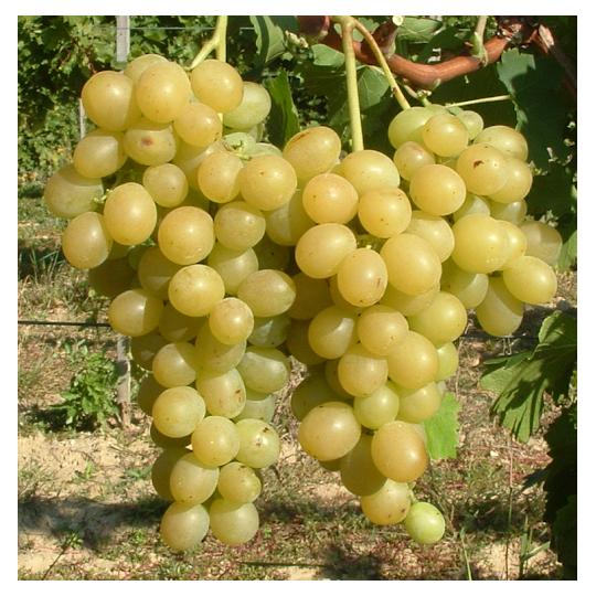 ITALIA stolová odroda, voľný koreň