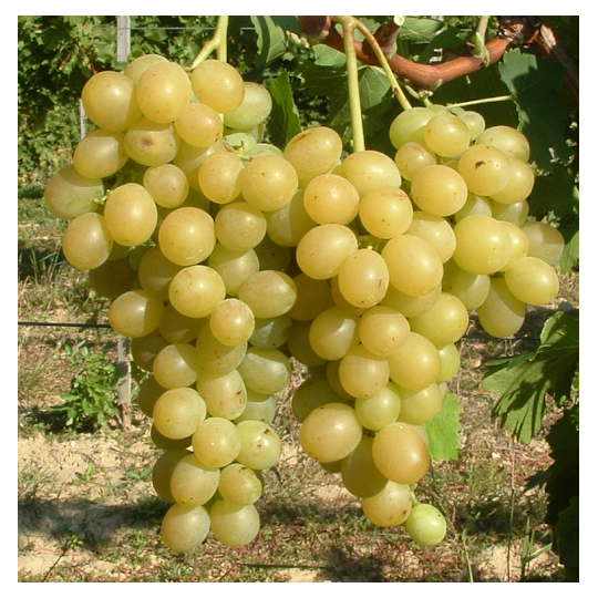 Vinič stolový 'ITALIA', 20-30cm, voľný koreň