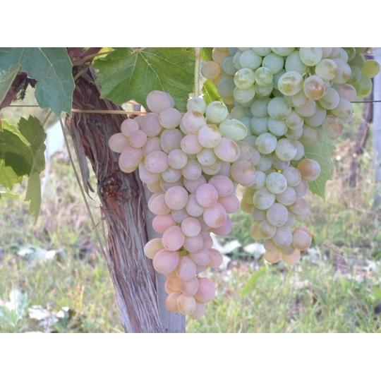 Vinič stolový 'TERÉZ' rezistentný, 20-30cm, voľný koreň