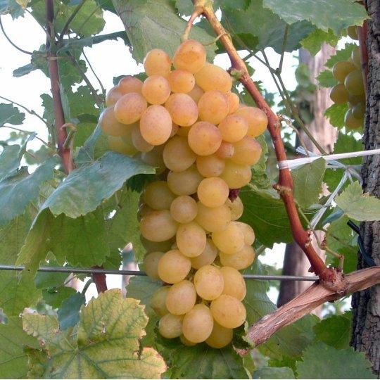 Vinič stolový 'HELIKON SZÉPE', 20-30cm, voľný koreň