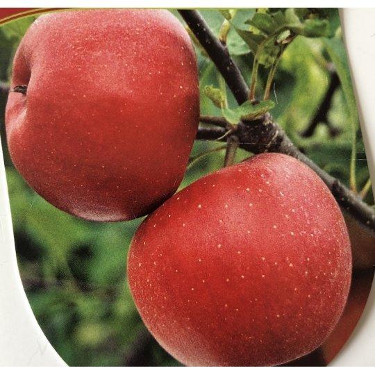 Jabloň domáca 'DOUBLE RED RUBÍN', podpník M9
