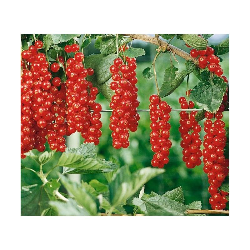 Ríbezľa Rovada, červená, stromčeková