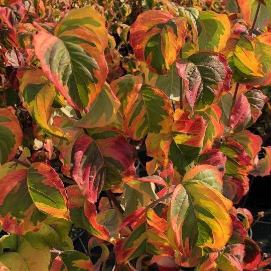 Drieň kvetnatý RAINBOW, 40-60cm, kont. 2L